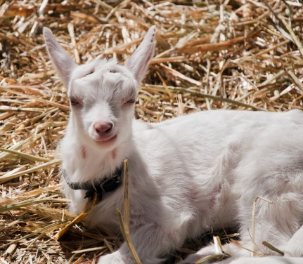 August 2017 progeny at Holy Goat; warm and snug in their new kidding shed and carrying on the genes of more than five generations of holy goats.