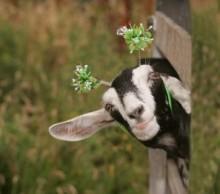Goat in Deely Boppers
