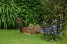 A young deer trapped in a the garden of a home in Edinburgh