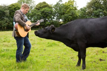 Musician Colin Clyne plays his guitar for a black cow in a field
