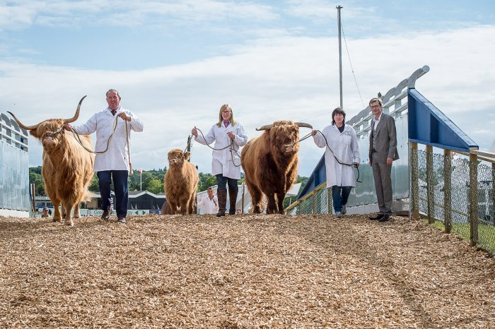 An image of Three Highland Cows walking over the flyover bridge as part of an Edinburgh PR agency story