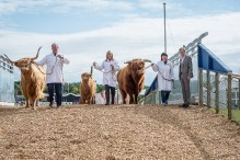 An image of Three Highland Cows walking over the flyover bridge