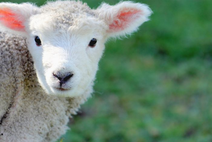 Pic of lamb featured in West Fife Show story by Scottish PR agency