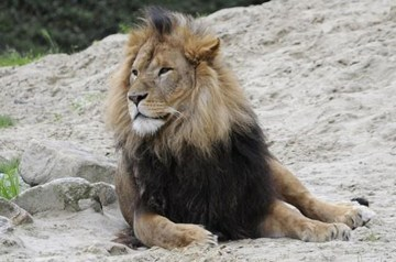 Lion at Blair Drummond Zoo for use of Scottish PR Agency, Holyrood PR