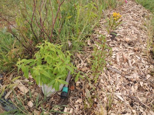 Lemon Verbena and Mexican Mint Marigold