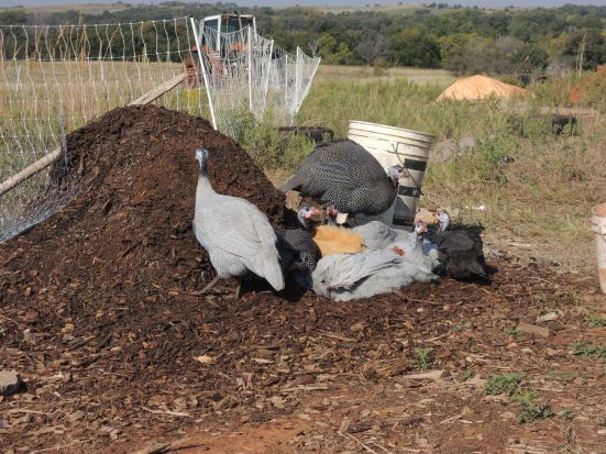 "Guineas and ""Little Roo"" dirt bathing in the compost pile"