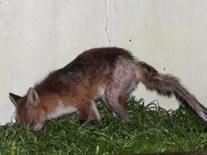 fox infestation