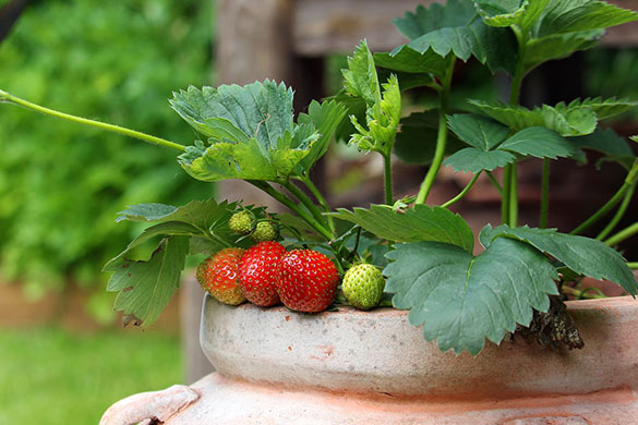 Container gardening with fruits and vegetables