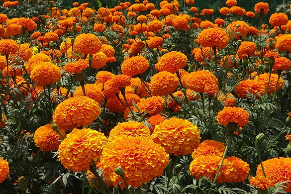Summer garden diy tips and ideas flowering marigolds