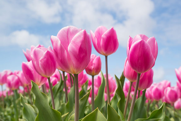 Winter garden preparation and planting for spring tulips