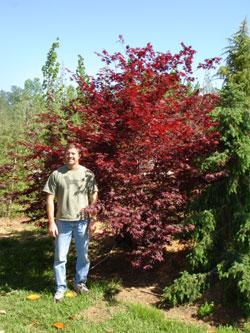 Bloodgood Japanese Maple Image