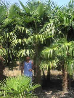 Windmill Palm Image