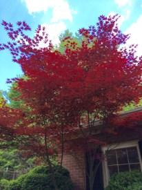 Bloodgood-Japanese-Maple