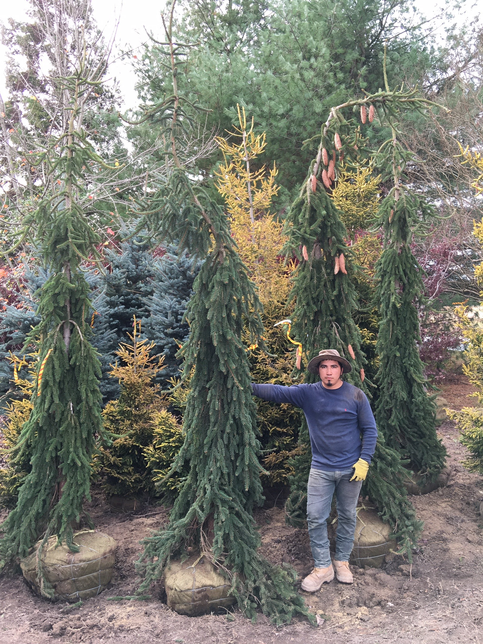 Weeping Norway Spruce Image