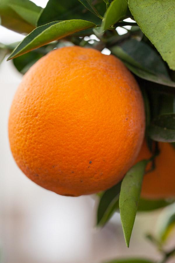 Cara Cara Orange Tree