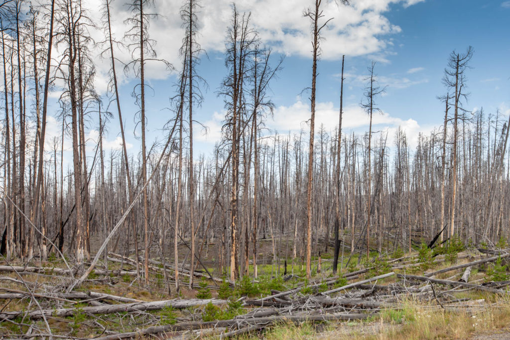 Life Holds on After Fires in Yellowstone - My Journey to Find Beauty From Ashes
