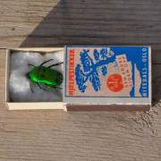 homebarn-beetle-insect-in-vintage-match-box-2