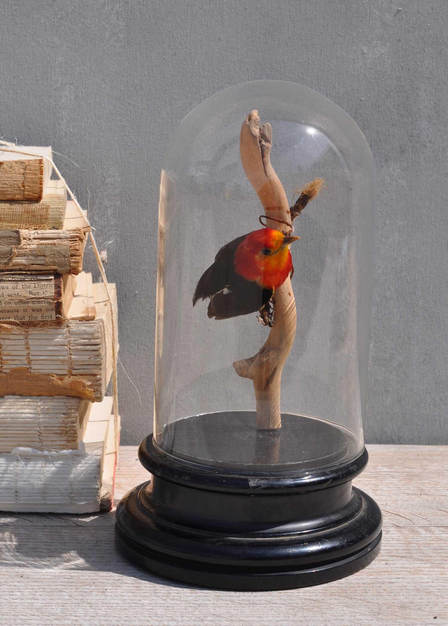 Antique Dome - Taxidermy Finch