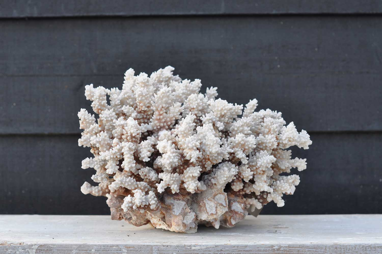 Large Vintage Marine Coral Specimen – Finger Coral