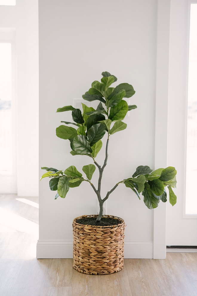 Fiddle Leaf tree A fiddle leaf tree can make any space feel more inviting and beautiful Fiddle Leaf tree Fiddle Leaf tree #FiddleLeaftree
