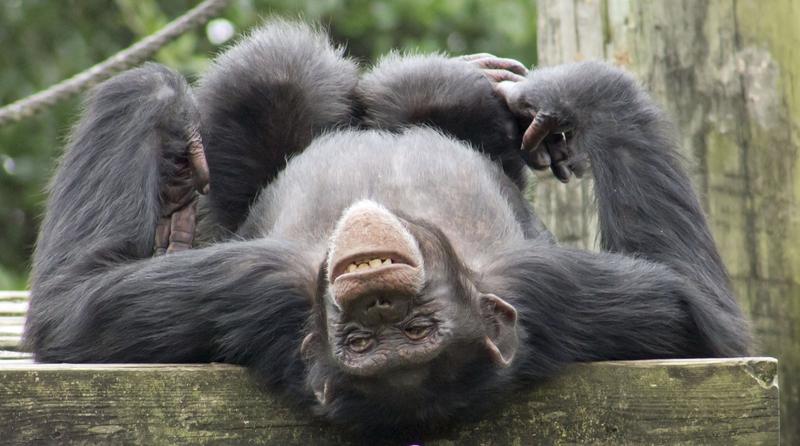 Fascinating Chimpanzee Marketing Secret