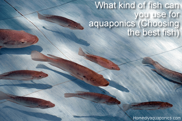 What kind of fish can you use for aquaponics - Choosing the best fish