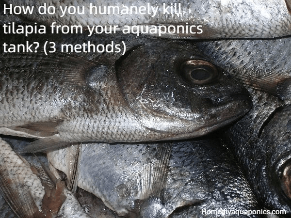 How do you humanely kill tilapia from your aquaponics tank - 3 methods