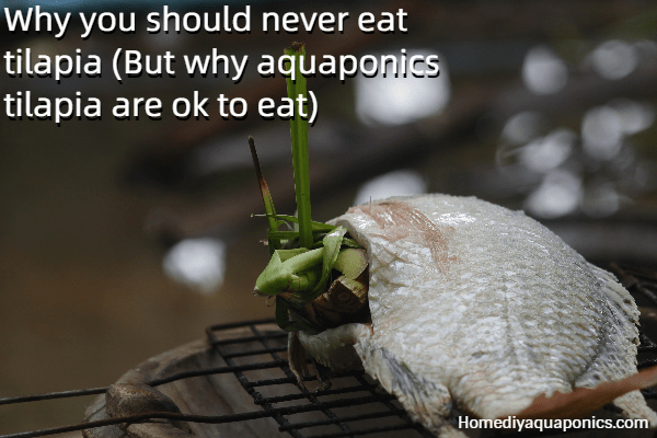 Why you should never eat tilapia - But why aquaponics tilapia are OK to eat