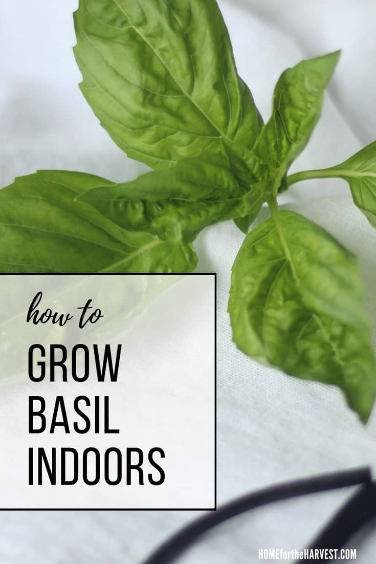 Growing Basil Indoors for an Abundant Year-Round Harvest
