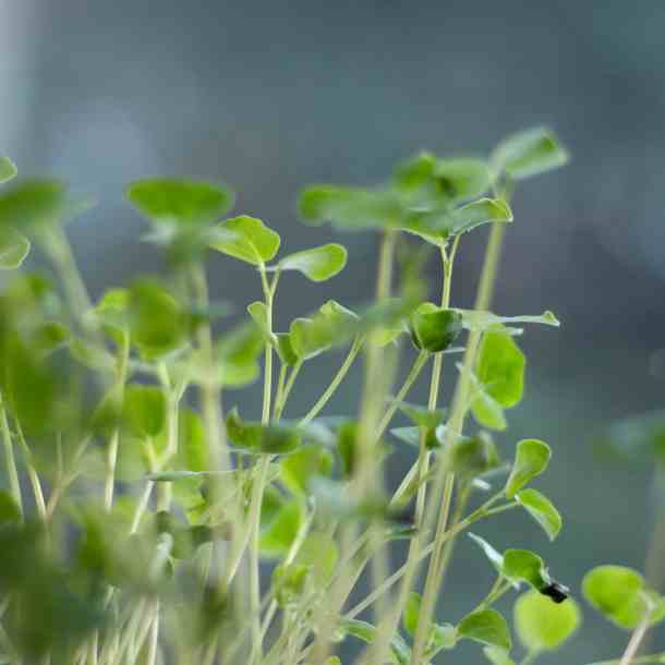 how to make sprouts at home - growing sprouts in your kitchen