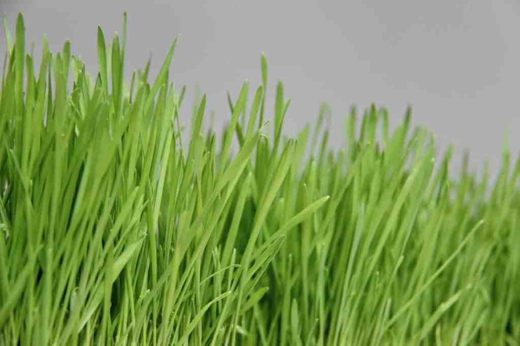 How to Grow Wheatgrass: A Simple Step-by-Step Guide