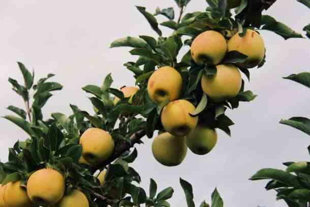 Fresh apples growing on an apple tree