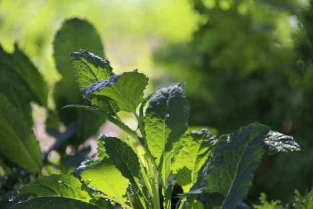 Baby Italian Kale in Garden - Home for the Harvest Gardening Blog