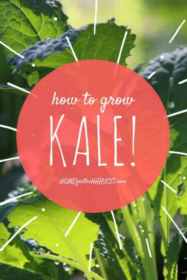 How to Grow Kale   Home for the Harvest