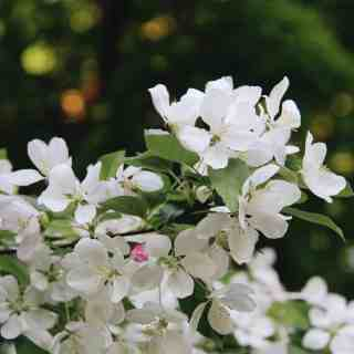 Crabapple Blossoms - Home for the Harvest Gardening Blog