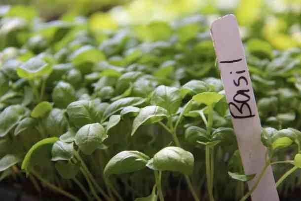 Basil Microgreens - organic basil microgreens in tray with label