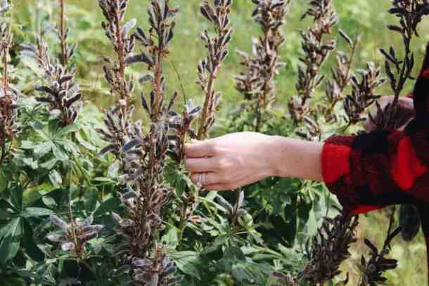 Foraging Wild Lupine Seeds | Home for the Harvest Blog