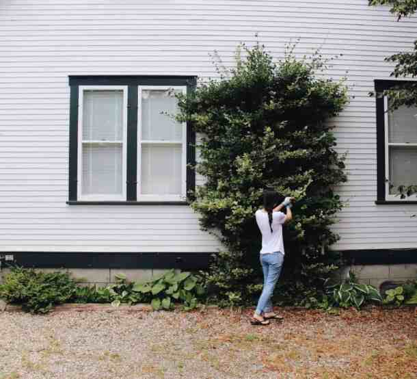 Climbing Euonymus on House | Home for the Harvest Blog