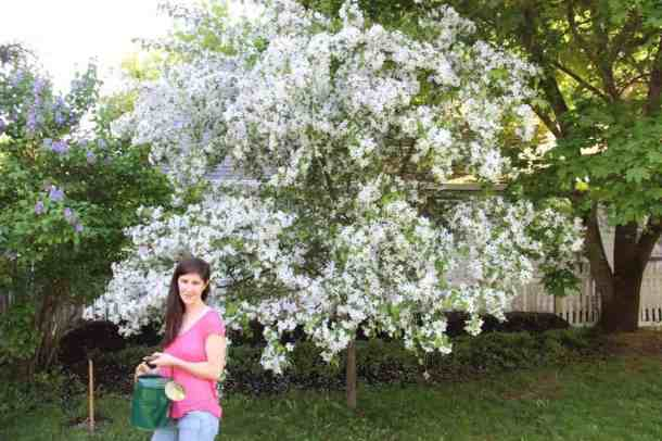 Crabapple Tree in Bloom | Home for the Harvest