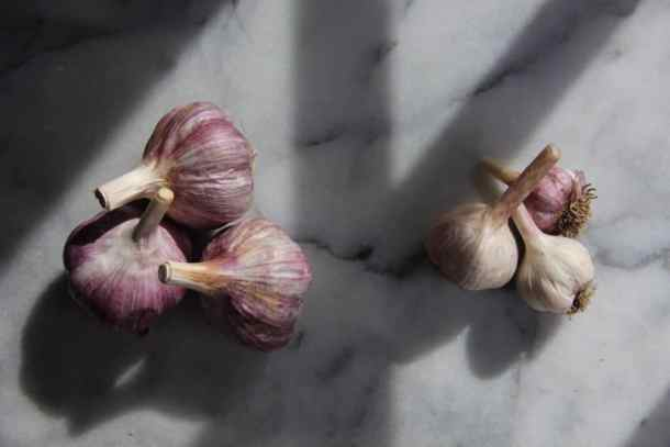 Different Sizes of Garlic | Home for the Harvest