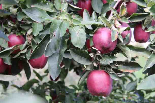 Red Delicious Apples on Tree | Home for the Harvest