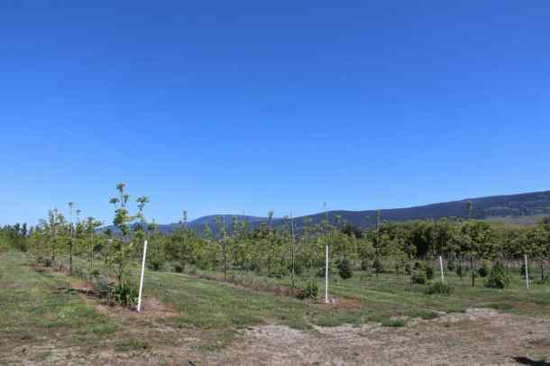 Black Walnut Orchard in Kelowna BC | Home for the Harvest