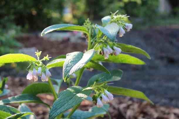 organic comfrey plant with purple flowers for making comfrey tea