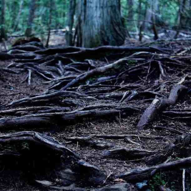dark exposed tree roots on the ground with large cedar trees in the background