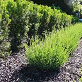 traditional landscaping with a yew hedge, lavender shrubs, and dark mulch