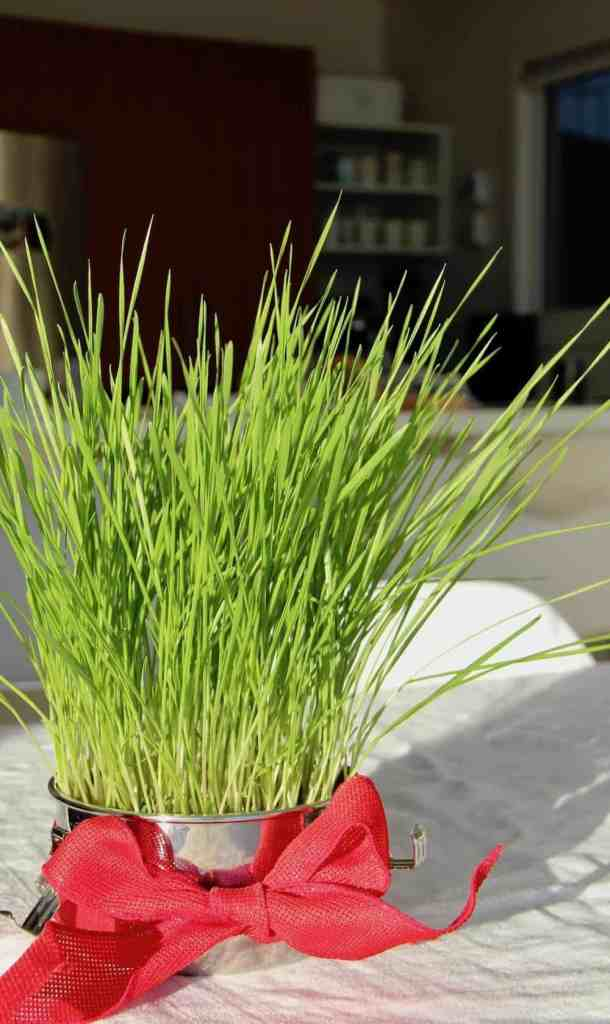 green wheatgrass in metal food container on white tablecloth with red bow around metal container