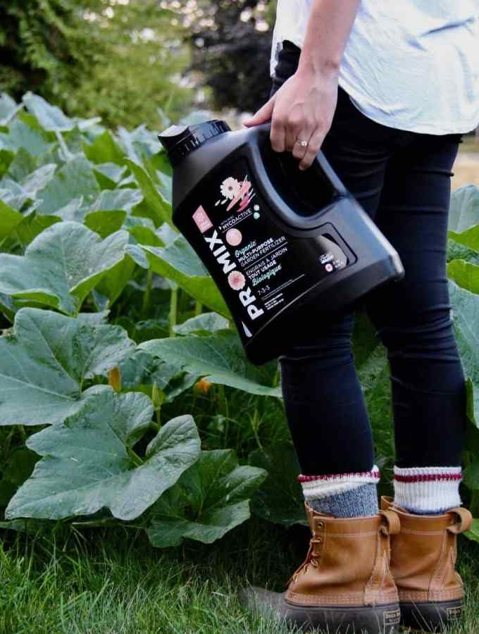 gardener holding general purpose organic fertilizer with large green pumpkin vine in background