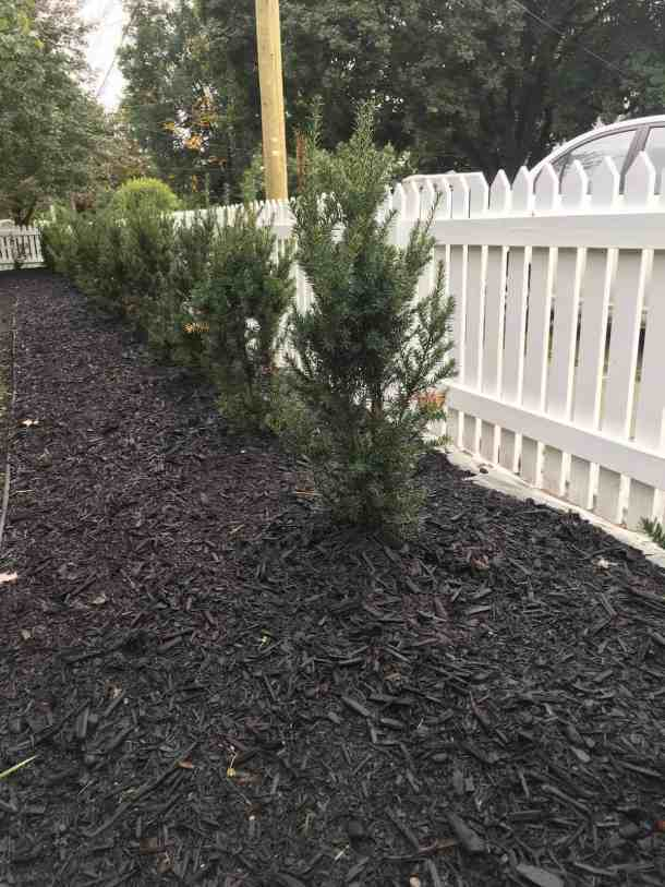 Mulch for Hedge