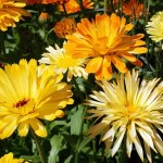 10 Cool Season Annual Flowers To Plant