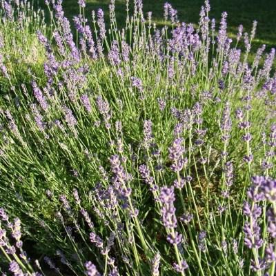 Lavender, Lavender, Where Art Thou?